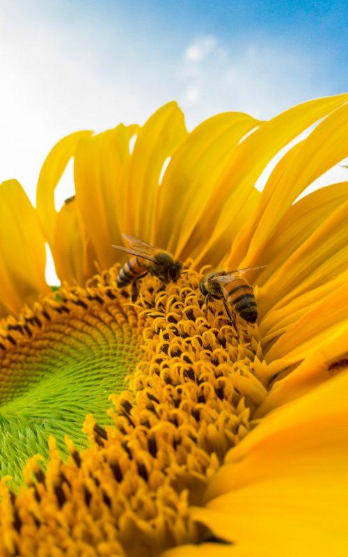 macro-photo-of-bumblebees-on-yellow-sunflower-772571